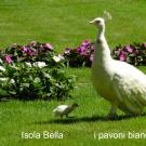 I pavoni bianchi dell'isola Bella